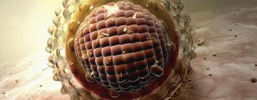 Localizan un tipo de célula que podría regenerar el hígado